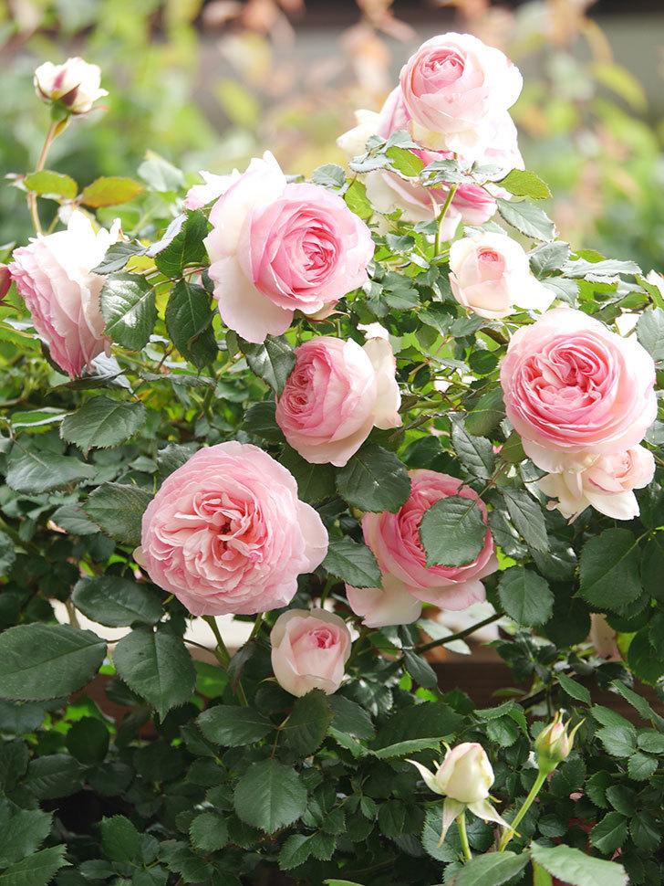 ピエール・ドゥ・ロンサール(Pierre de Ronsard)の花がたくさん咲いた。ツルバラ。2021年-199.jpg