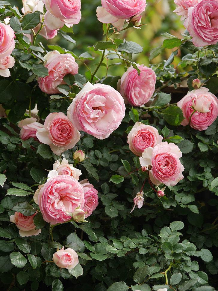 ピエール・ドゥ・ロンサール(Pierre de Ronsard)の花がたくさん咲いた。ツルバラ。2021年-200.jpg