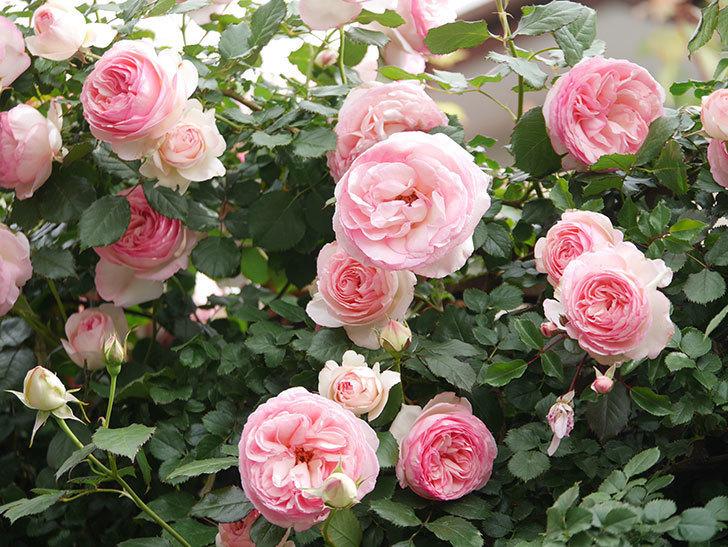 ピエール・ドゥ・ロンサール(Pierre de Ronsard)の花がたくさん咲いた。ツルバラ。2021年-201.jpg