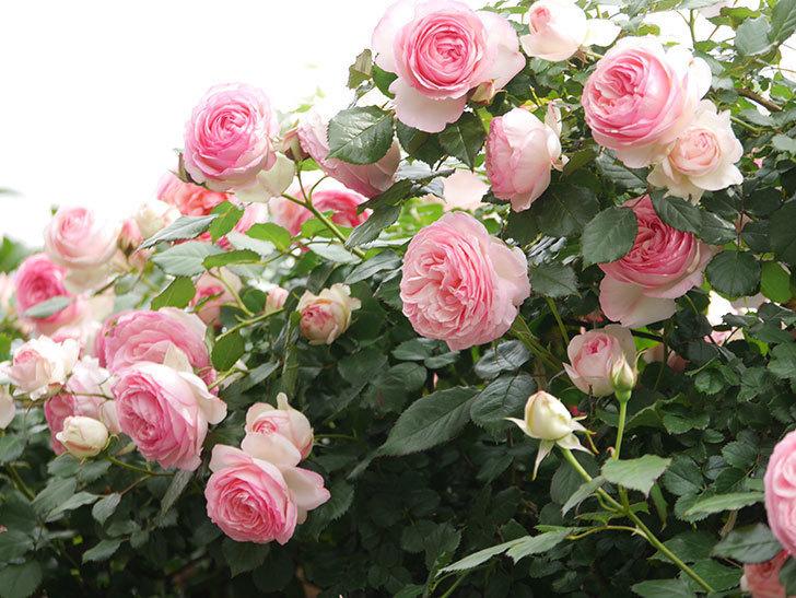 ピエール・ドゥ・ロンサール(Pierre de Ronsard)の花がたくさん咲いた。ツルバラ。2021年-202.jpg