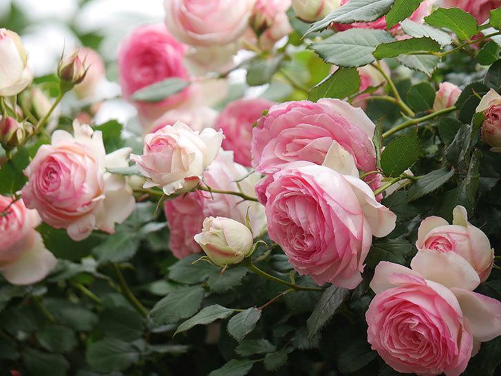 ピエール・ドゥ・ロンサール(Pierre de Ronsard)の花がたくさん咲いた。ツルバラ。2021年-203.jpg