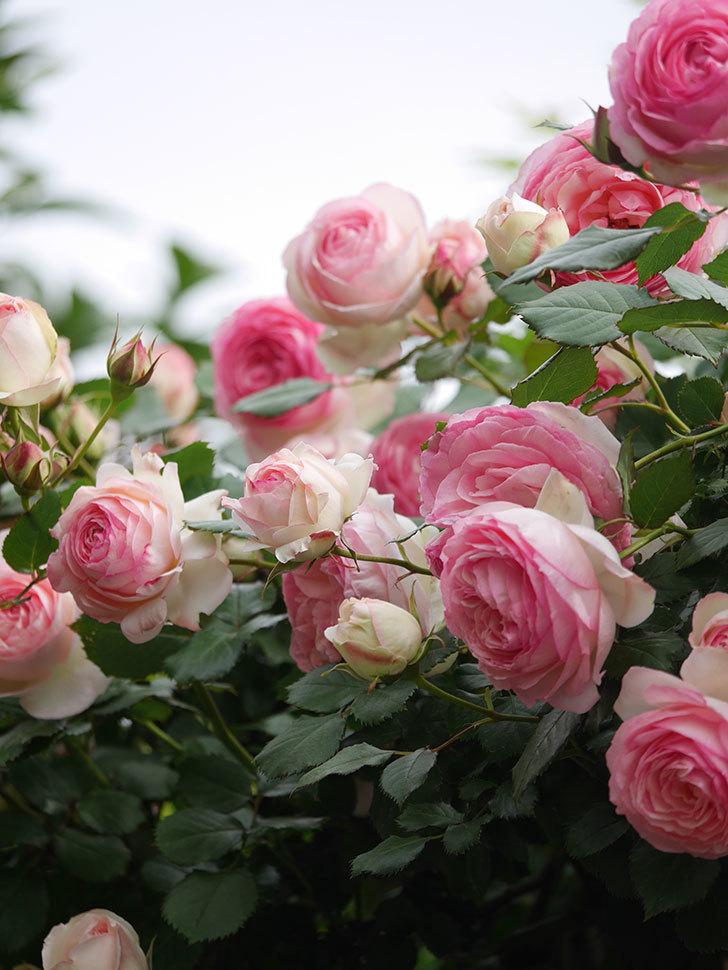 ピエール・ドゥ・ロンサール(Pierre de Ronsard)の花がたくさん咲いた。ツルバラ。2021年-204.jpg
