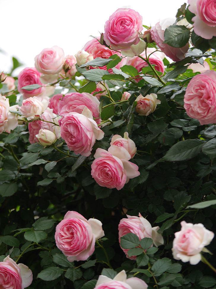 ピエール・ドゥ・ロンサール(Pierre de Ronsard)の花がたくさん咲いた。ツルバラ。2021年-205.jpg