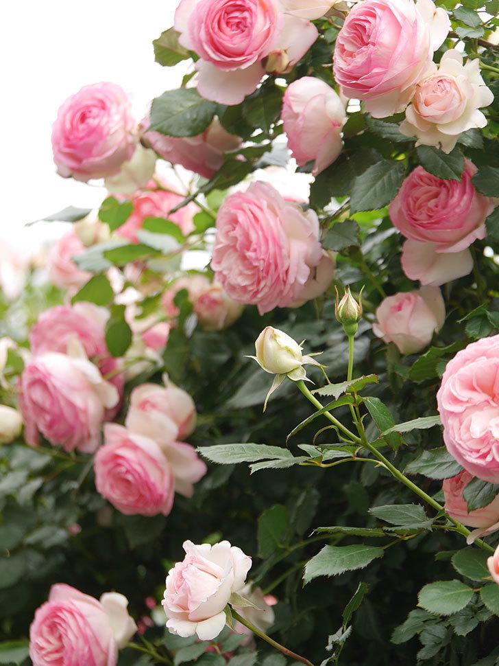 ピエール・ドゥ・ロンサール(Pierre de Ronsard)の花がたくさん咲いた。ツルバラ。2021年-206.jpg