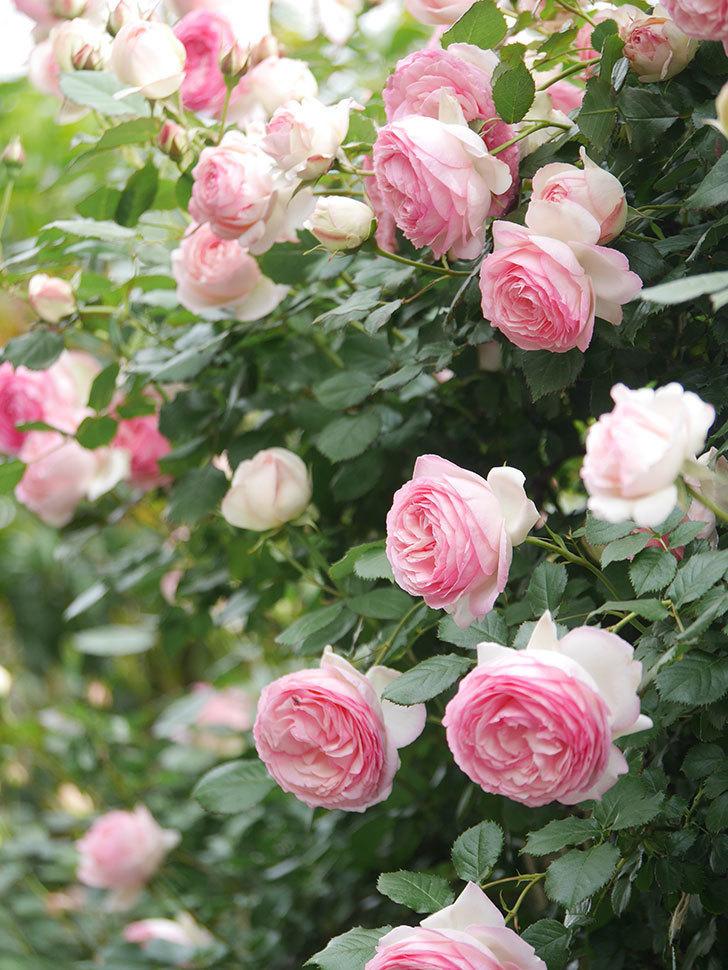 ピエール・ドゥ・ロンサール(Pierre de Ronsard)の花がたくさん咲いた。ツルバラ。2021年-207.jpg