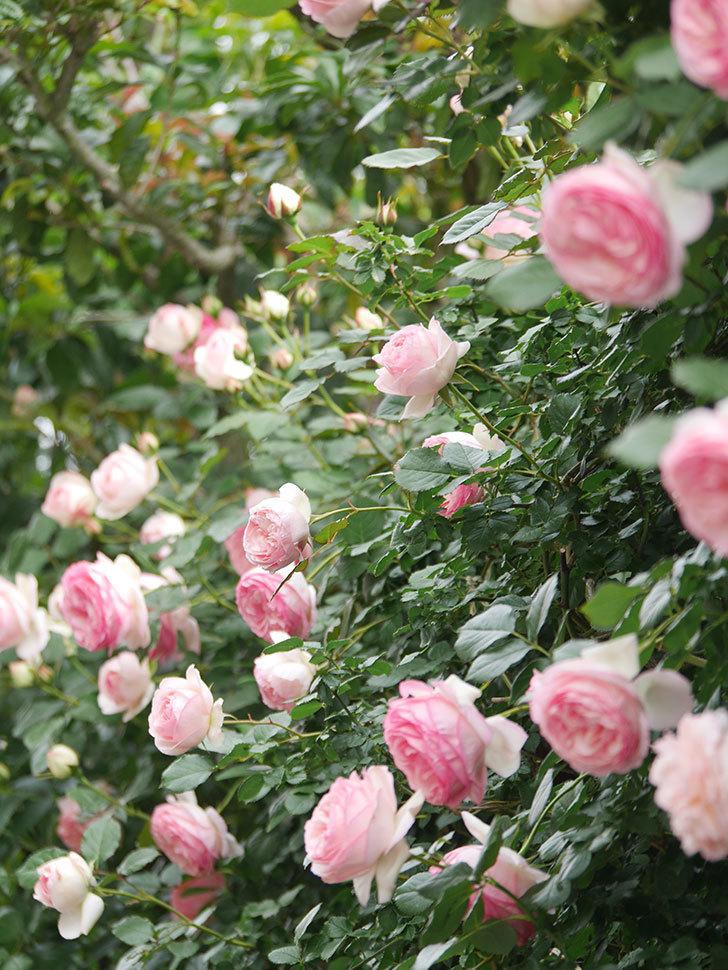 ピエール・ドゥ・ロンサール(Pierre de Ronsard)の花がたくさん咲いた。ツルバラ。2021年-208.jpg