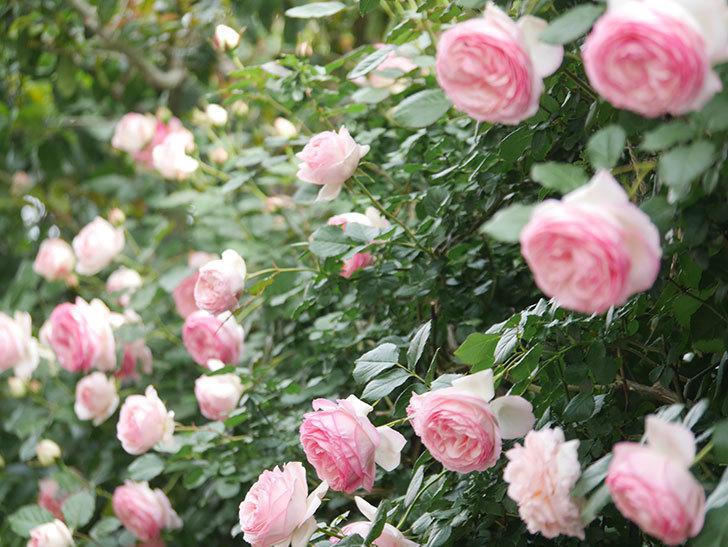 ピエール・ドゥ・ロンサール(Pierre de Ronsard)の花がたくさん咲いた。ツルバラ。2021年-210.jpg