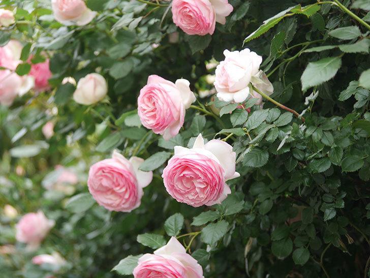 ピエール・ドゥ・ロンサール(Pierre de Ronsard)の花がたくさん咲いた。ツルバラ。2021年-211.jpg