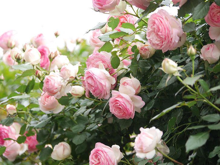 ピエール・ドゥ・ロンサール(Pierre de Ronsard)の花がたくさん咲いた。ツルバラ。2021年-212.jpg