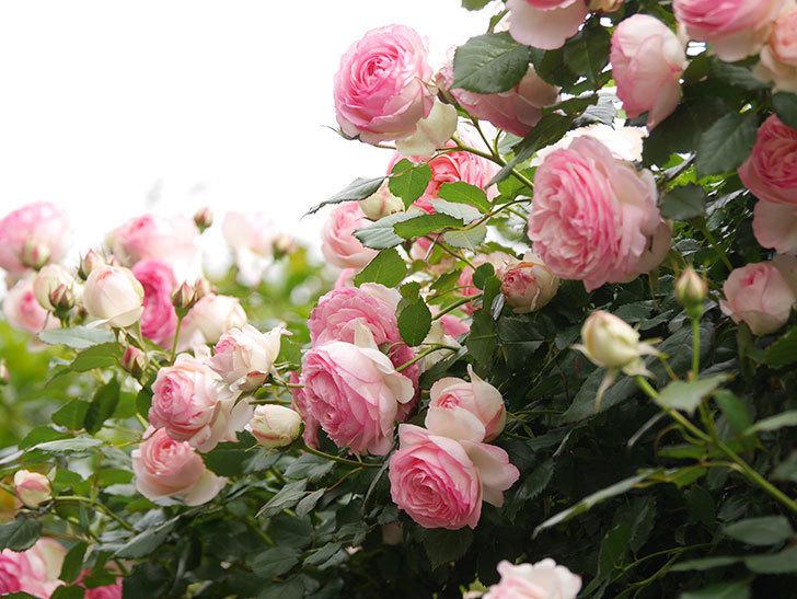 ピエール・ドゥ・ロンサール(Pierre de Ronsard)の花がたくさん咲いた。ツルバラ。2021年-213.jpg