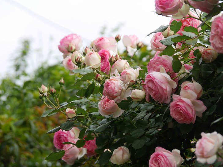 ピエール・ドゥ・ロンサール(Pierre de Ronsard)の花がたくさん咲いた。ツルバラ。2021年-214.jpg