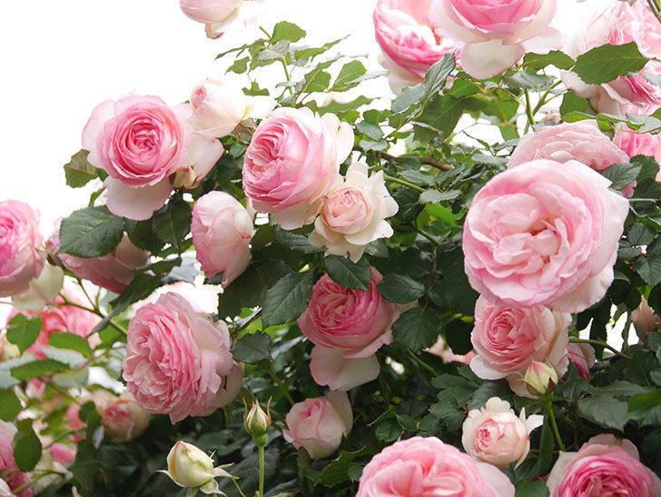ピエール・ドゥ・ロンサール(Pierre de Ronsard)の花がたくさん咲いた。ツルバラ。2021年-215.jpg