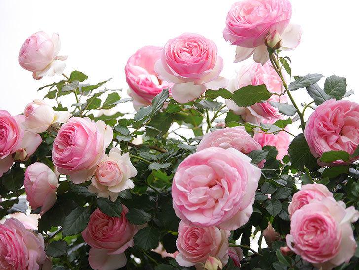 ピエール・ドゥ・ロンサール(Pierre de Ronsard)の花がたくさん咲いた。ツルバラ。2021年-216.jpg