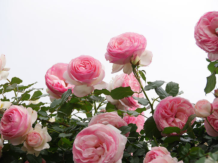 ピエール・ドゥ・ロンサール(Pierre de Ronsard)の花がたくさん咲いた。ツルバラ。2021年-217.jpg