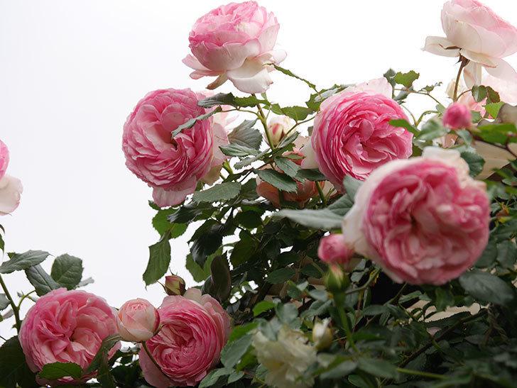 ピエール・ドゥ・ロンサール(Pierre de Ronsard)の花がたくさん咲いた。ツルバラ。2021年-218.jpg