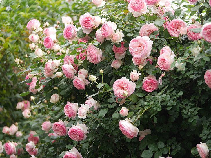 ピエール・ドゥ・ロンサール(Pierre de Ronsard)の花がたくさん咲いた。ツルバラ。2021年-219.jpg