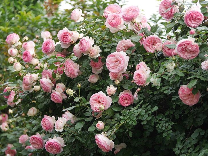 ピエール・ドゥ・ロンサール(Pierre de Ronsard)の花がたくさん咲いた。ツルバラ。2021年-220.jpg