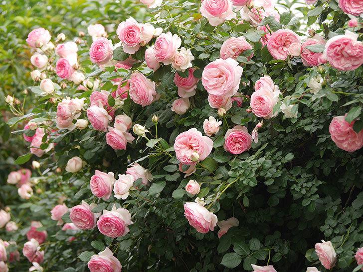 ピエール・ドゥ・ロンサール(Pierre de Ronsard)の花がたくさん咲いた。ツルバラ。2021年-221.jpg