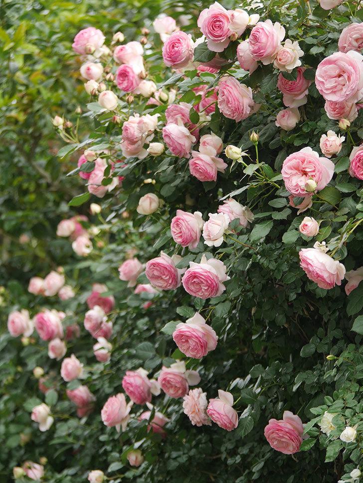 ピエール・ドゥ・ロンサール(Pierre de Ronsard)の花がたくさん咲いた。ツルバラ。2021年-222.jpg