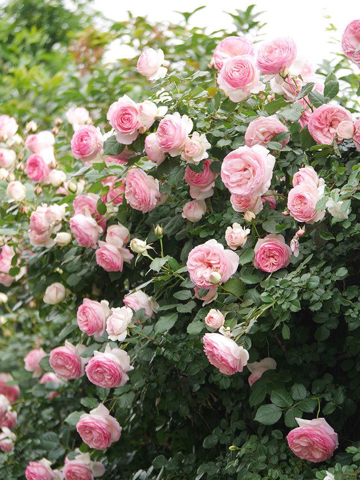 ピエール・ドゥ・ロンサール(Pierre de Ronsard)の花がたくさん咲いた。ツルバラ。2021年-224.jpg
