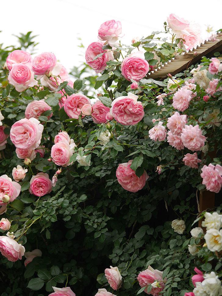 ピエール・ドゥ・ロンサール(Pierre de Ronsard)の花がたくさん咲いた。ツルバラ。2021年-225.jpg
