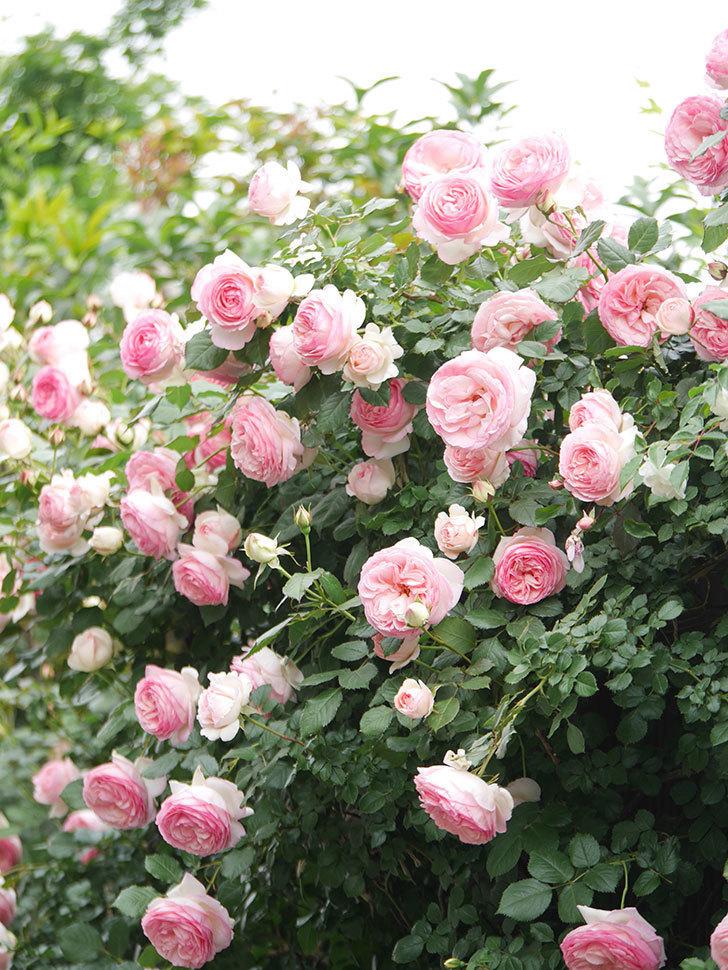 ピエール・ドゥ・ロンサール(Pierre de Ronsard)の花がたくさん咲いた。ツルバラ。2021年-226.jpg