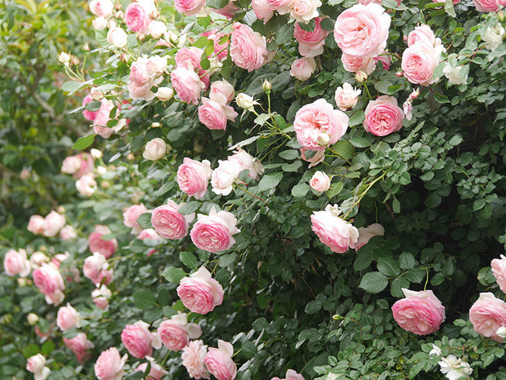 ピエール・ドゥ・ロンサール(Pierre de Ronsard)の花がたくさん咲いた。ツルバラ。2021年-227.jpg
