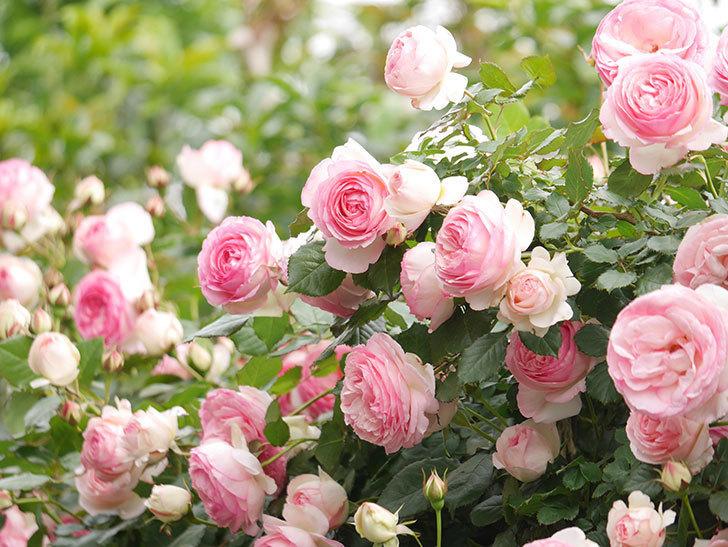 ピエール・ドゥ・ロンサール(Pierre de Ronsard)の花がたくさん咲いた。ツルバラ。2021年-228.jpg