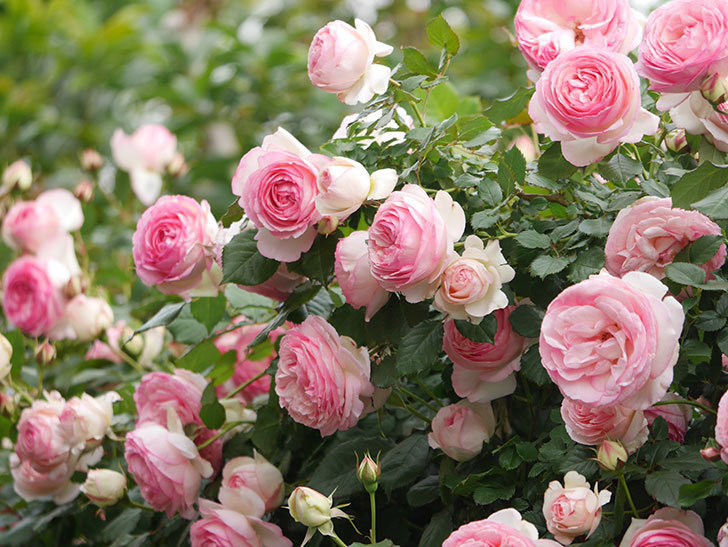 ピエール・ドゥ・ロンサール(Pierre de Ronsard)の花がたくさん咲いた。ツルバラ。2021年-229.jpg