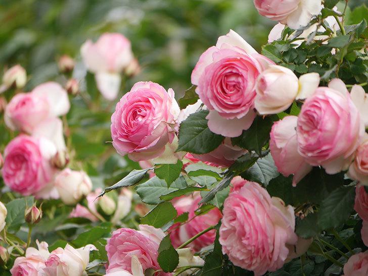 ピエール・ドゥ・ロンサール(Pierre de Ronsard)の花がたくさん咲いた。ツルバラ。2021年-230.jpg