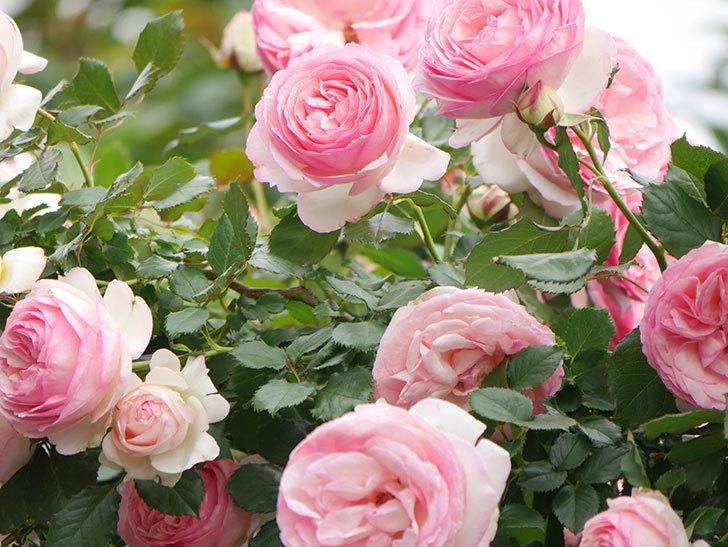 ピエール・ドゥ・ロンサール(Pierre de Ronsard)の花がたくさん咲いた。ツルバラ。2021年-231.jpg