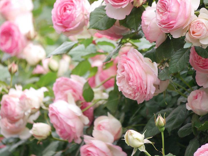 ピエール・ドゥ・ロンサール(Pierre de Ronsard)の花がたくさん咲いた。ツルバラ。2021年-232.jpg