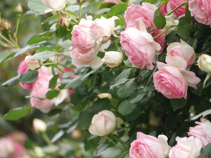 ピエール・ドゥ・ロンサール(Pierre de Ronsard)の花がたくさん咲いた。ツルバラ。2021年-233.jpg