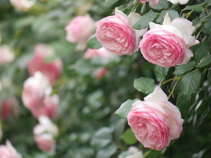 ピエール・ドゥ・ロンサール(Pierre de Ronsard)の花がたくさん咲いた。ツルバラ。2021年-234.jpg