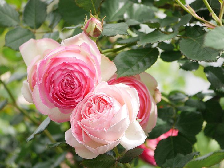 ピエール・ドゥ・ロンサール(Pierre de Ronsard)の花がたくさん咲いた。ツルバラ。2021年-237.jpg