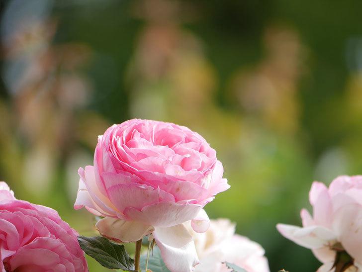 ピエール・ドゥ・ロンサール(Pierre de Ronsard)の花がたくさん咲いた。ツルバラ。2021年-239.jpg