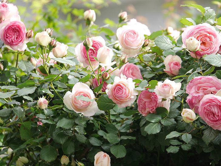 ピエール・ドゥ・ロンサール(Pierre de Ronsard)の花がたくさん咲いた。ツルバラ。2021年-240.jpg