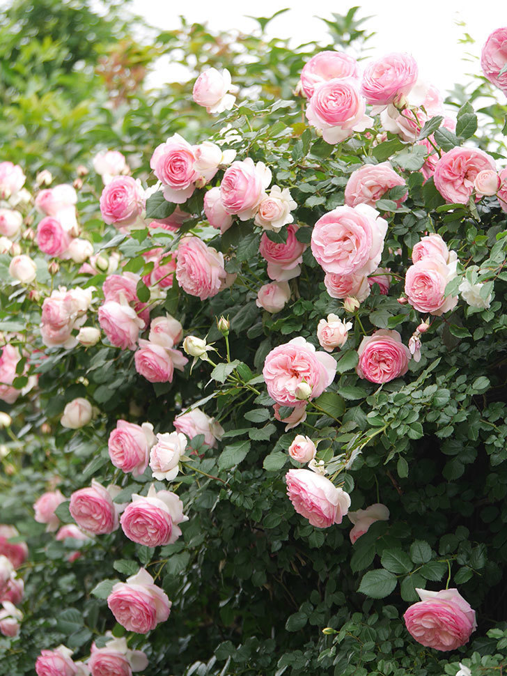 ピエール・ドゥ・ロンサール(Pierre de Ronsard)の花がたくさん咲いた。ツルバラ。2021年-245.jpg