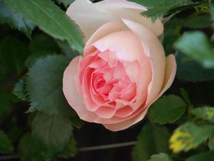 ピエール・ドゥ・ロンサール(Pierre de Ronsard)の花が咲いた。ツルバラ。2021年-001.jpg