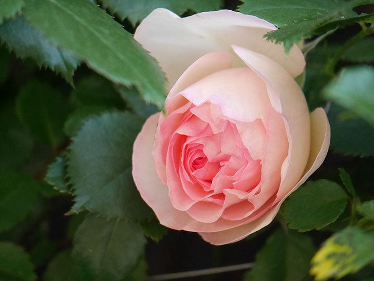 ピエール・ドゥ・ロンサール(Pierre de Ronsard)の花が咲いた。ツルバラ。2021年-002.jpg