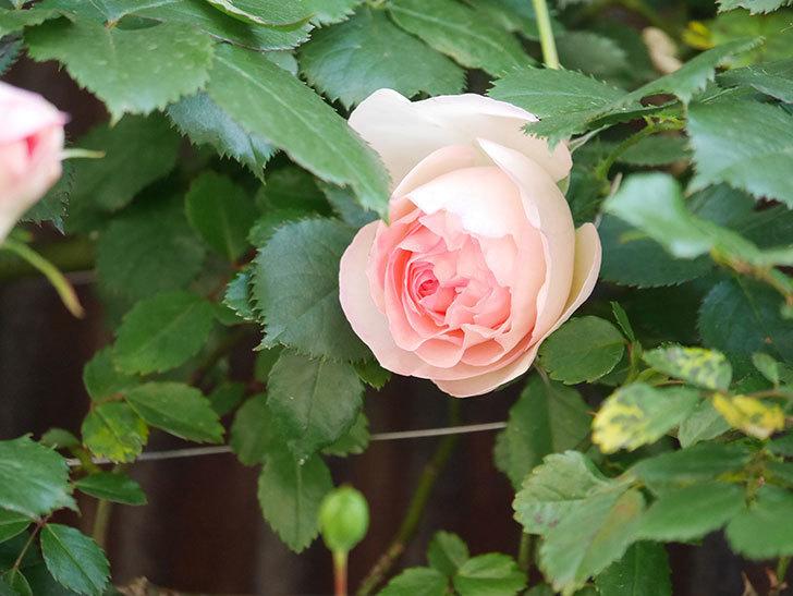 ピエール・ドゥ・ロンサール(Pierre de Ronsard)の花が咲いた。ツルバラ。2021年-003.jpg