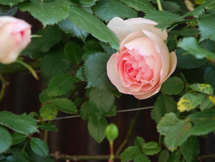 ピエール・ドゥ・ロンサール(Pierre de Ronsard)の花が咲いた。ツルバラ。2021年-004.jpg