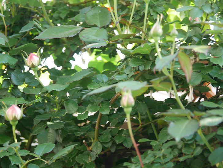 ピエール・ドゥ・ロンサール(Pierre de Ronsard)の花が咲いた。ツルバラ。2021年-005.jpg