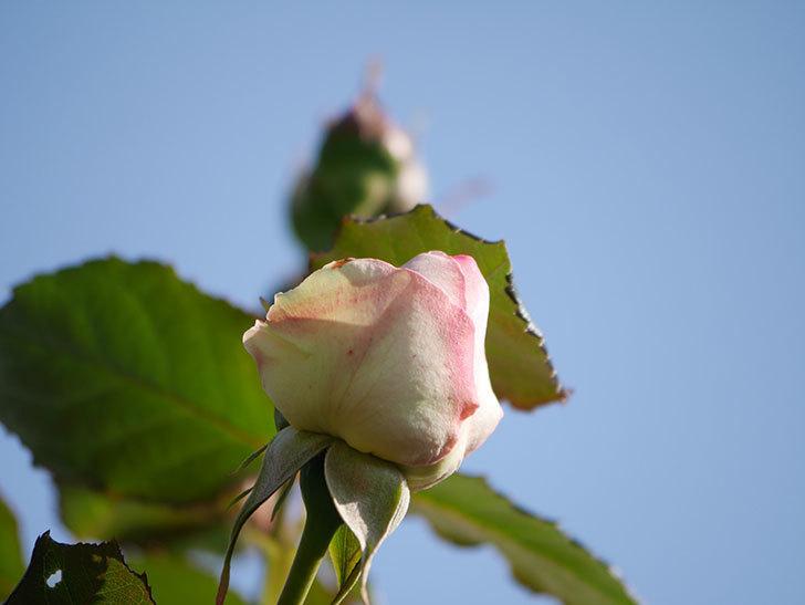 ピエール・ドゥ・ロンサール(Pierre de Ronsard)の花が咲いた。ツルバラ。2021年-006.jpg
