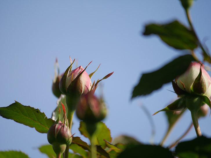 ピエール・ドゥ・ロンサール(Pierre de Ronsard)の花が咲いた。ツルバラ。2021年-008.jpg