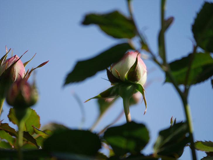 ピエール・ドゥ・ロンサール(Pierre de Ronsard)の花が咲いた。ツルバラ。2021年-009.jpg
