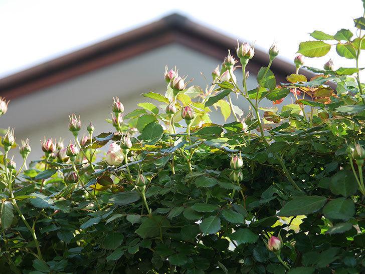 ピエール・ドゥ・ロンサール(Pierre de Ronsard)の花が咲いた。ツルバラ。2021年-010.jpg