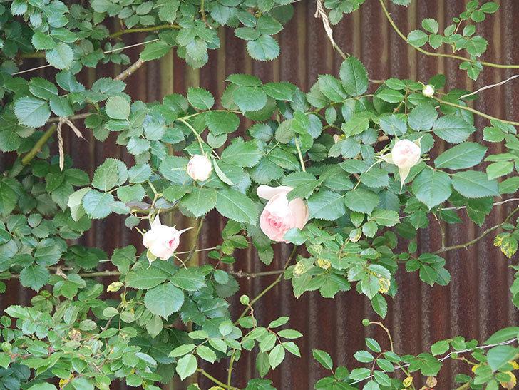 ピエール・ドゥ・ロンサール(Pierre de Ronsard)の花が咲いた。ツルバラ。2021年-011.jpg