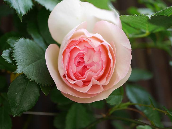 ピエール・ドゥ・ロンサール(Pierre de Ronsard)の花が咲いた。ツルバラ。2021年-013.jpg