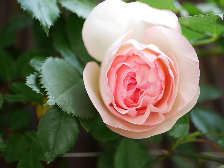 ピエール・ドゥ・ロンサール(Pierre de Ronsard)の花が咲いた。ツルバラ。2021年-014.jpg